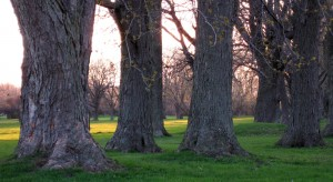 Ancient Trees Early Spriing Evening - May 10 2014 Reduced